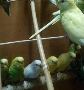 Волнистые попугаи,ручные малыши