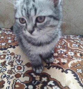 Продаю котёнка шотландского девачка