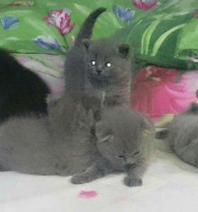 Британские котята...