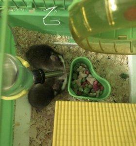 Продаётся клетка с 2 японскими мышами, Миша и Макс