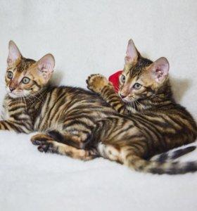 Тойгер - тигр в миниатюре