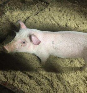 Поросёнок ( свинка)
