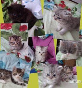 Котята от персидской мамы и британца папы