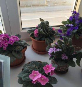 Цветы фиалки( разные)