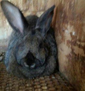 Кролики Фландр(Ризен)