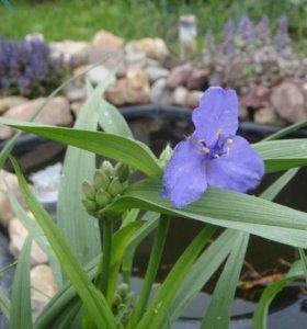 Традесканция виргинская садовая синяя