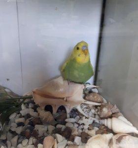 Выставочные волнистые попугаи .