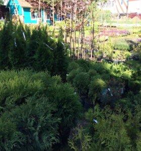 Садовые растения саженцы