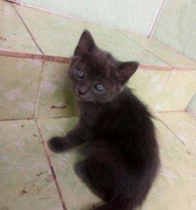 Дымчатый котёнок(кошечка)