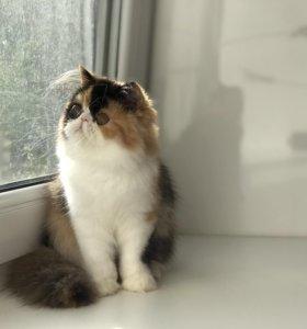 Персидский котенок, счастливого окраса калико
