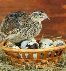 Перепелиное яйцо