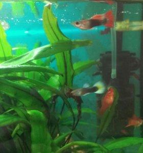 Рыбки гуппи подростки и мальки