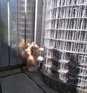 Котята рыжие