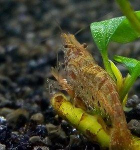 Креветки Neocaridina davidi(вишни)