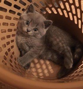Чистокровный шотландский котик