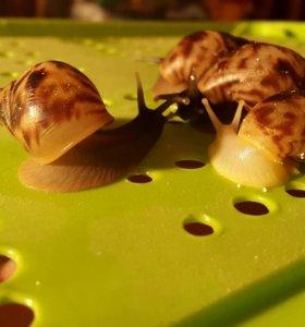 Улитки ахатины ретикулята черноголовые и альбино