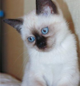 Тайские голубоглазые котята