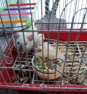 Продам молодую крыску(самка)