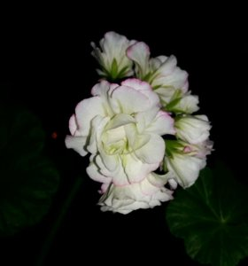 Пеларгония сутарве клара сан