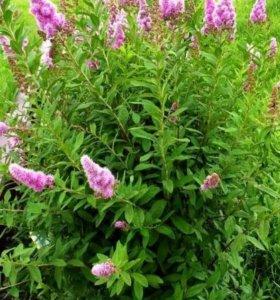 Садовые цветы и кустарники