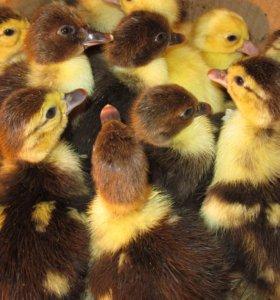 Индоутята подрощеные утята яйцо инкубационное