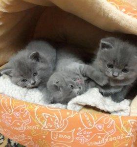 Шотландские котята чистокровные