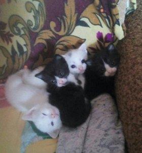 Котята от сиамской мамы