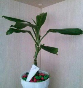 Дрaценa- дрakоновое дерево