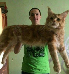 Вязка кота мейн-куна