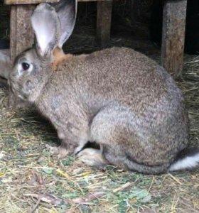 племенные кролики породы Фландр