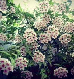 Комнатные растения  Hoya bella редкое