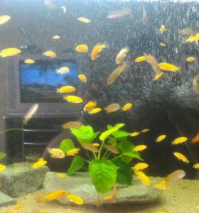Рыбки цихлиды елоу