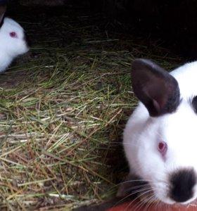 Кролики колифорнийци
