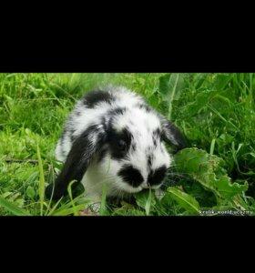 Куплю декоративного вислоухого кролика