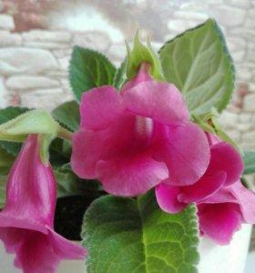 Листики Тидеи розовой