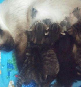 Котята от сиамской кошки