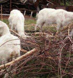 Комолые козы две и козел без рогий