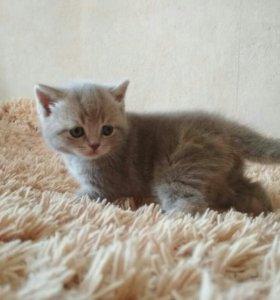 Котята скоттиш страйк