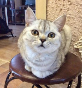 Котёнок Шотландец Скоттиш страйт