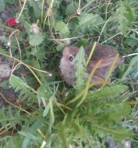 Кролик декаративный