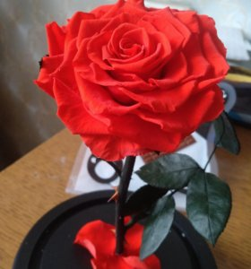 Алая бессмертная роза