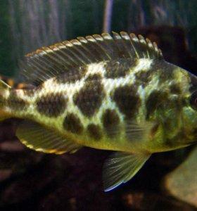 Рыбки Золотой Леопард