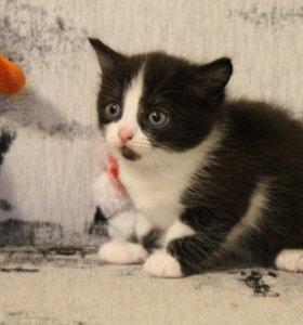 продам котенка мальчик