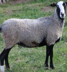 продам овцематок и ягнят