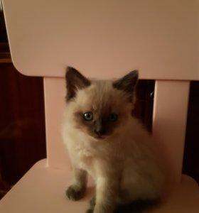 Сиамский котик .Кушает самостоятельно.