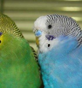 Волнистые попугаи самец и самка