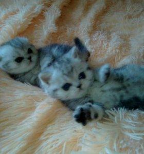 Котята мраморный окрас