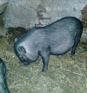 Въетнамские вислобрюхие свинки