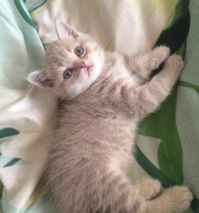 Продам британского котёнка(мальчик)
