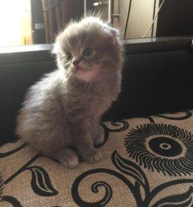 Шотландские котики 1,5 месяца